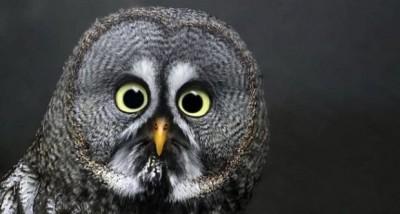 surprised-owl-400x214